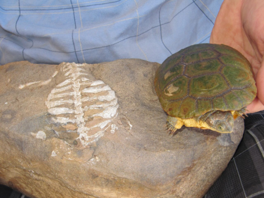 Modern turtle compared with a fossil of E. africanus