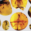 "These ancient amber fossils from Myanmar in Southeast Asia provide a look at ""missing links"" in the evolutionary history of lizards. The chameleon is located in the far-right lower corner. Photo courtesy of David Grimaldi"
