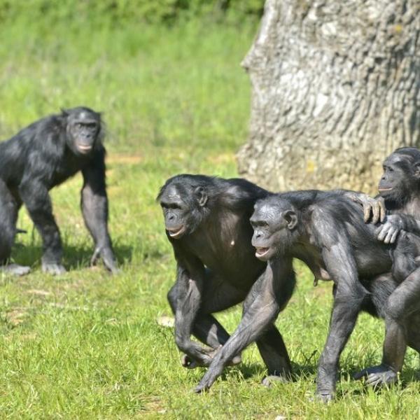 Bonobo monkeys in the Democratic Republic of Congo