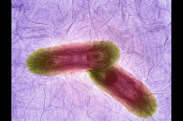 Bacteria on graphene oxide