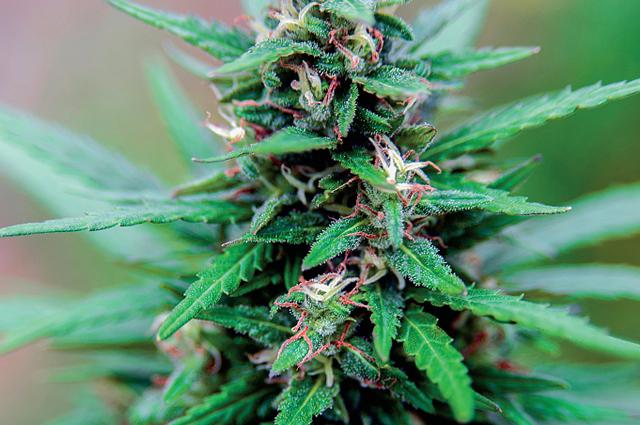 medicinal marijuana summary essay