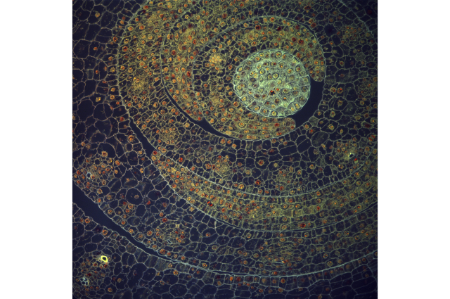 Micrograph of maize leaf