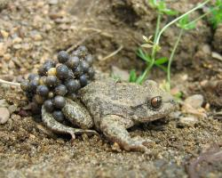Male midwife toad carrying eggs