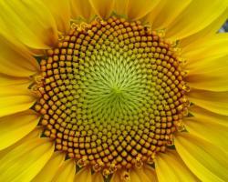Head of a sunflower