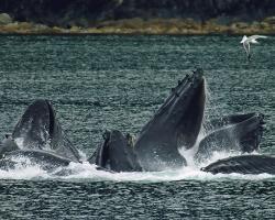 Humpback whales net feeding