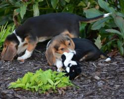 Cornell University research leads to first puppies born by in vitro fertilization.