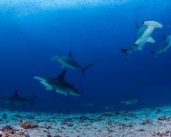 A group of hammerhead sharks wims over the sandy seafloor at Darwin Island