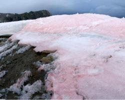 Red pigmented snow algae