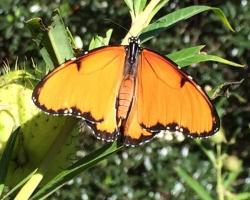 African Queen butterfly