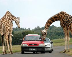 Giraffes being fed by tourists in cars at a safari