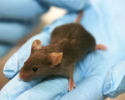 Lab mouse in a blue gloved hand.