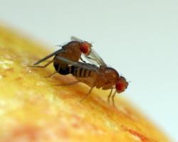 Drosophila fruit flies mating