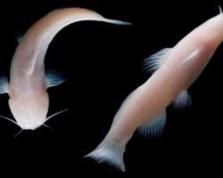Eyeless catfish