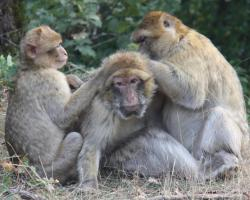 Barbary monkeys being groomed