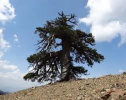 Adonis, the oldest tree in Europe
