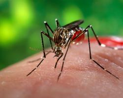 Mosquito feeding on blood