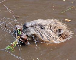 A beaver swimming