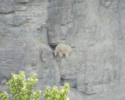 A sheep on a steep cliff