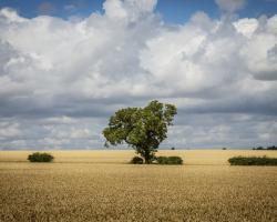 Tree in a field, clouds