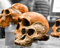 Skulls of ancient hominids