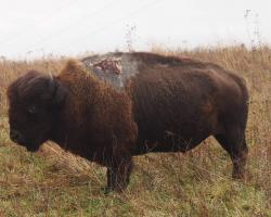 Sparky the bison was struck by lightning in the summer of 2013
