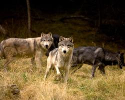 North American Grey wolves