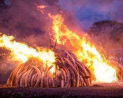 Photo of Kenya's ivory burn on April 30, 2016