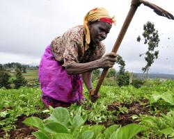 A Kenyan woman farmer at work in the Mount Kenya region.