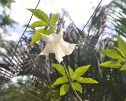 A large white flower on a nightshade tree