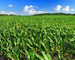 Blue skies, field of corn. Farming