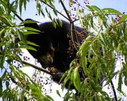 Black bear cub in a wild cherry tree