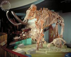 Wooly mammoth skeleton on display at the Smithsonian Institute