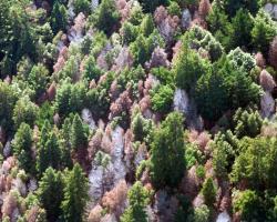 Sudden Oak death in Marin Co. California