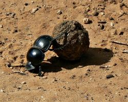 The flightless dung beetle (Circellium bacchus) rolling a ball of dung