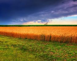 Field of grain under dark storm clouds