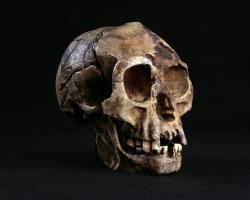 Fossilized skull of Homo floresiensis, a hobbit-like hominid