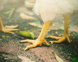 Chicken legs and feet