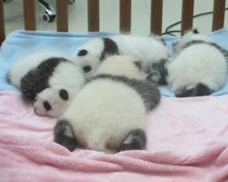 A cupboard of panda cubs at Chengdu, China.