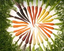 A rainbow of carrot varieties. Orange, white, purple, yellow, red.