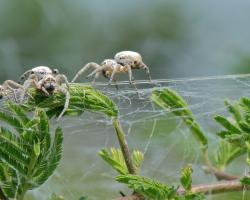 Colonial spiders, Stegodyphus dumicola