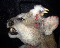 Cougar with growth on top of head, bearing teeth