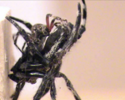 Darwin's bark spiders performing oral sex