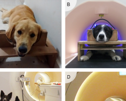 Dogs trained to lie still in an fMRI machine