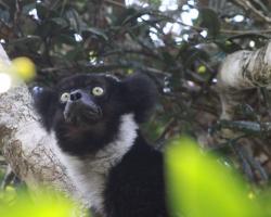 Indris, one of Madagascar's largest lemurs