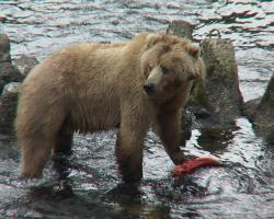 Kodiak bear with a Salmon in a river