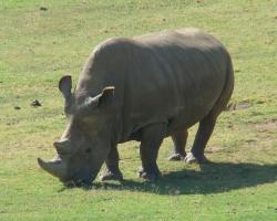 Northern White Rhino photo