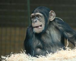 A chimpanzee in the hay