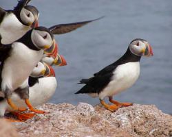 Atlantic Puffins landing on rock