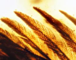 Bird (enantiornithes) feathers preserved in amber