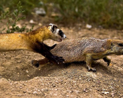 Ferret hunting a prairie dog